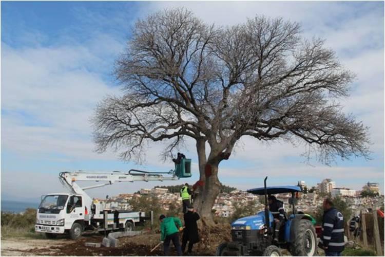 Anıtsal ağaçlar için restorasyon