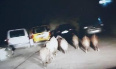 Domuzlar Kuşadası'na indi