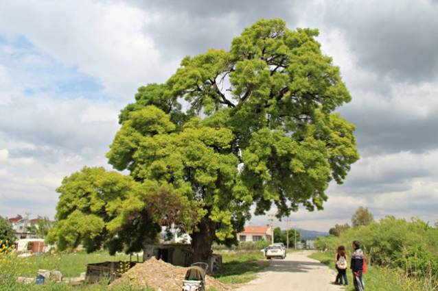 Anıt ağaç için seferberlik