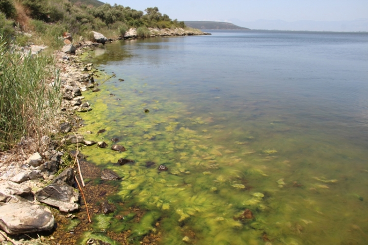 Bafa gölü yine köpürmeye başladı
