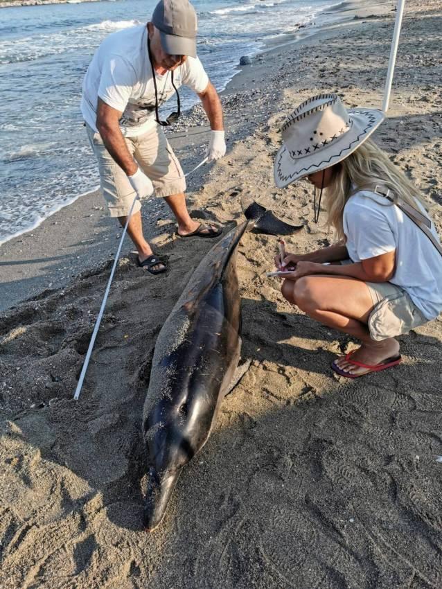 Kuşadası'nda 1 yunus 3  deniz kaplumbağası öldü